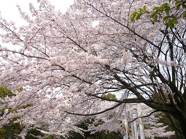 平塚総合公園の桜